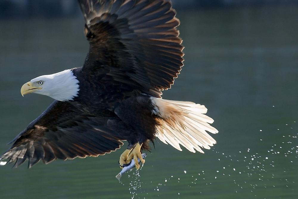 Eagle catching fish art