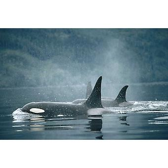 Orca group surfacing Johnstone Strait British Columbia Canada Poster Print by Flip Nicklin