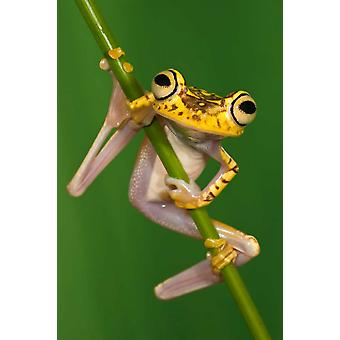 Chachi Tree Frog northwest Ecuador Poster Print by Pete Oxford