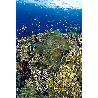 Fiji Reef Scene With Orange-Fin Anemonefish School Lyretail Anthias Surface Amphiprion Chrysopterus (Stichodactyla Mertensii) Pseudanthias Squamipinnis PosterPrint