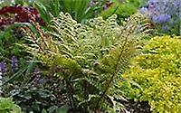 Athyrium otophorum Var. Okanum - Eared Lady Fern