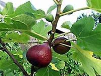 Ficus carica Brown Turkey - Common Fig Brown Turkey in 9cm Pots