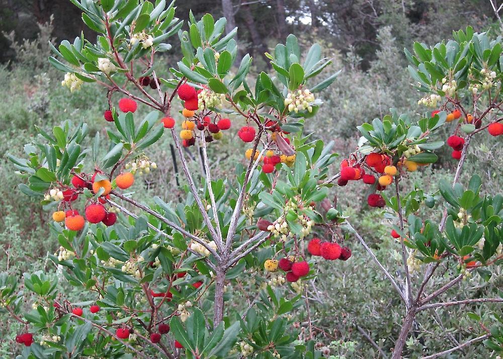 Erdbeerbaum Mit Substrat Arbutus unedo 50 Samen SAFLAX