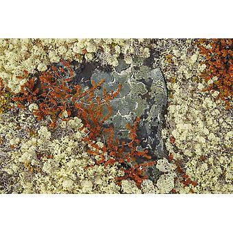 Caribù muschi e licheni crescono massaggiandola nella tundra lungo la Dempster Highway Nord Yukon Yukon Canada PosterPrint