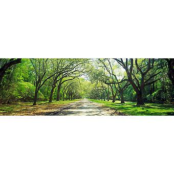Live Oaks and Spanish Moss Wormsloe State Historic Site Savannah GA Poster Print
