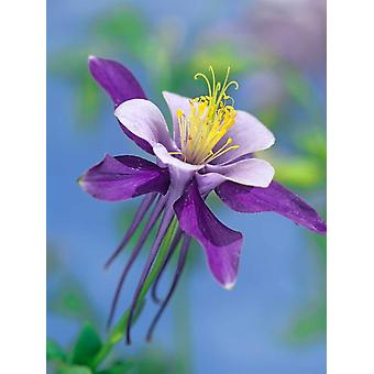 Colorado Blue Columbine close up of bloom North America Poster Print by Tim Fitzharris