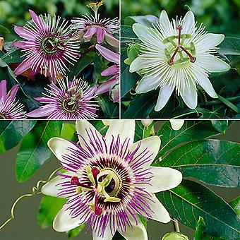 3 Potted Climbing Passion Flower Plants in 9cm Pots