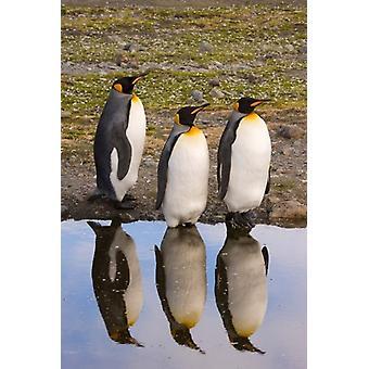 Reflexiones de pingüino impresión de póster por Jaynes Galería del rey