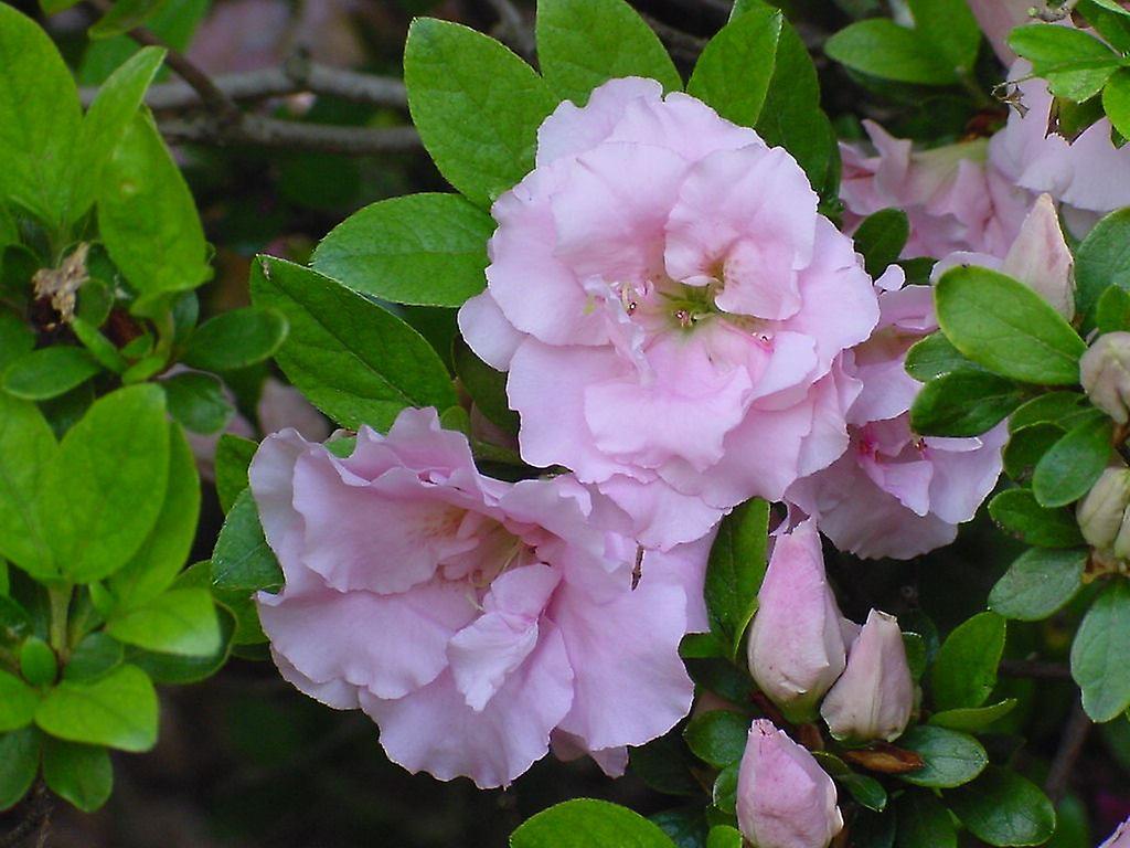 Azalea japonica Betty Ann Voss - Plant in 9cm Pot