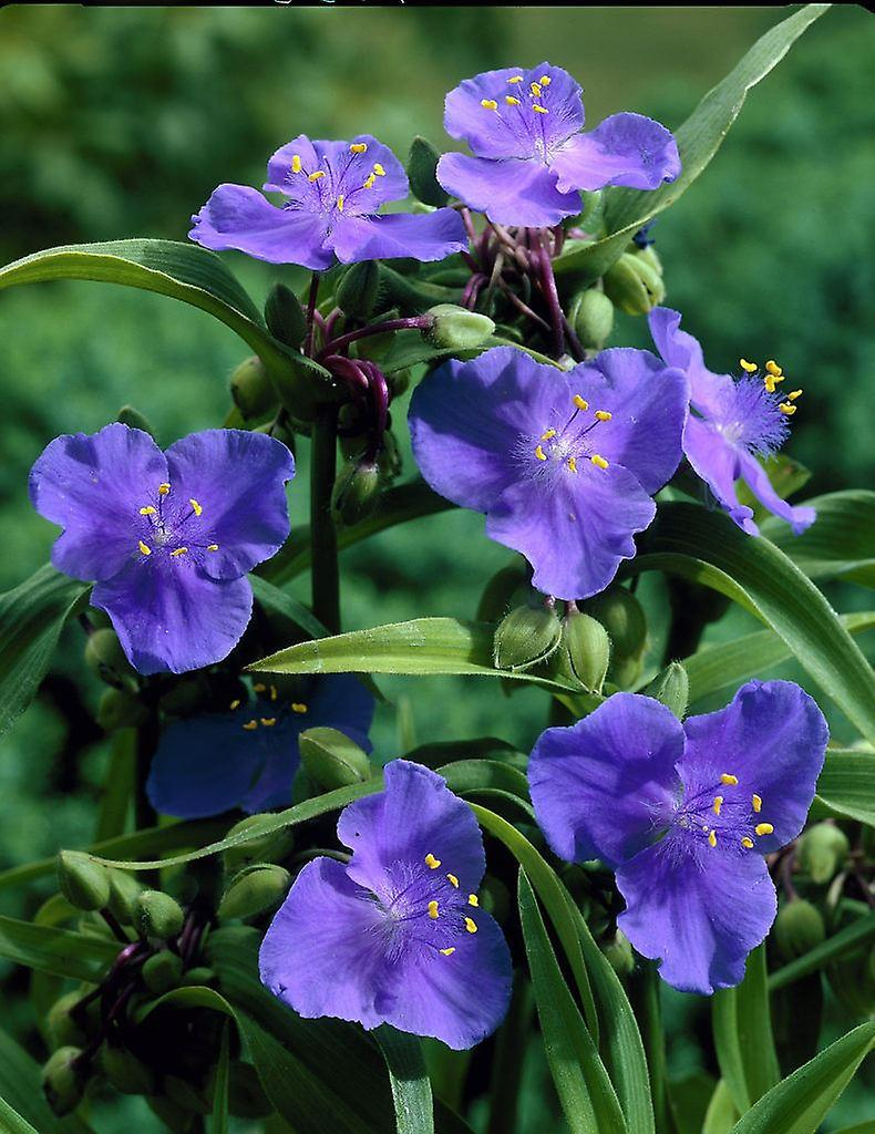 Tradescantia x andersoniana Zwanenburg Blue - Spider Lily, Plant in 9cm Pot