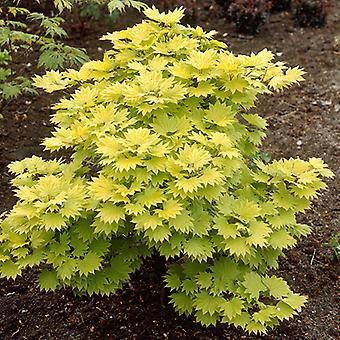 Japanese Maple Acer shirasawanum 'Aureum' in a 3L Pot 60cm tall