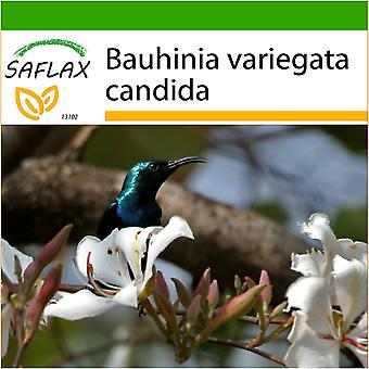 Saflax - 5 seeds - With soil - White Orchid Tree - Arbre aux orchidées blanches - Albero di orchidea bianca - Árbol orquídea blanca - Weißer Orchideenbaum