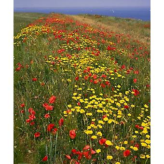 Poppies in Studland Bay Dorset England Poster Print by Paul Thompson
