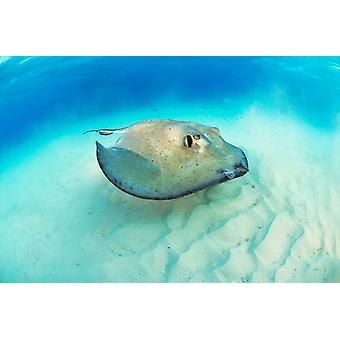 Sud Stingray Stingray City Poster Print par Hans Leijnse