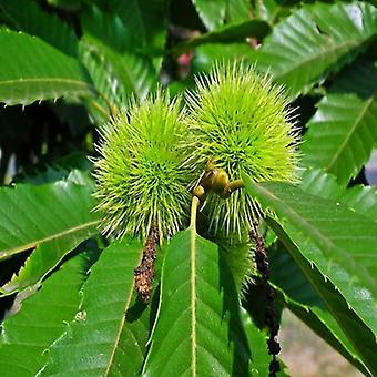 Castanea sativa (Sweet chestnut) - Plant