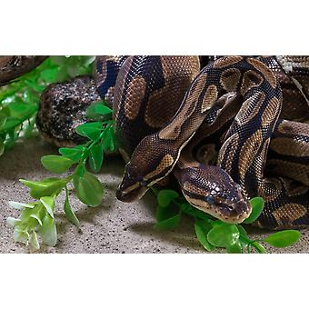Two Burmese pythons in zoo Poster Print by Panoramic Images