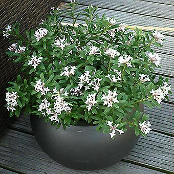 Daphne 'Eternal Fragrance' Evergreen Spring Flowering Shrub in a 9cm Pot