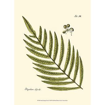Small Antique Fern I Poster Print by Vision studio (10 x 13)