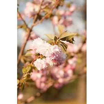 Våren blomstrer IV Poster trykk av Karyn hirse