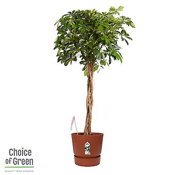 Val av grön-Schefflera Gold Capella-i Elho® Greenville Pot Brown-Umbrella Tree