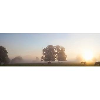 Cattle grazing in field at misty sunrise USK Valley South Wales Poster Print