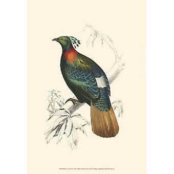Birds of Costa Rica II Poster Print by C Dorbigney (13 x 19)