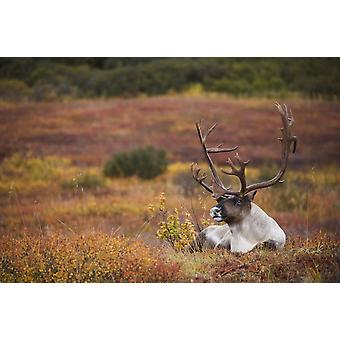 Bull Caribou Bedded On Autumn Tundra In Denali National Park Interior Alaska PosterPrint