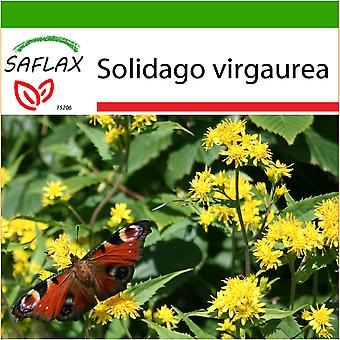 Saflax - 100 seeds - With soil - Goldenrod - Solidage verge d'or - Verga d'oro  - Vara de oro - Echte Goldrute