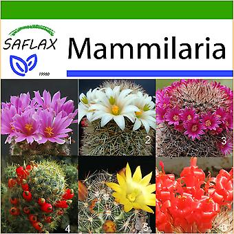 Saflax - 40 frø - med jord - Mammillaire Mix - Mélange de Mammillaria - Mammillaria (mix) - Mezcla mammillaria - Mammilaria Mischung