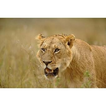 Lioness on the hunt in tall grass Masai Mara Game Reserve Kenya Poster Print by Adam Jones