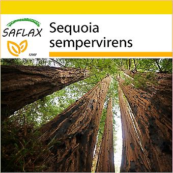 Saflax - Potting Set - 50 seeds - Coastal Redwood - Séquoia sempervirens - Sequoia sempreverde - Secuoya roja - Küsten - Mammutbaum
