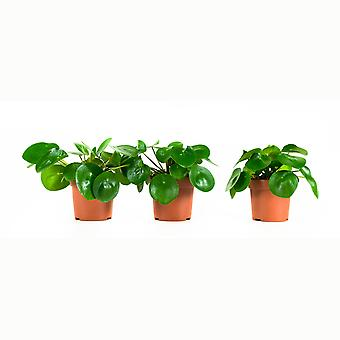 Choice of Green - Set of 3 Pilea Pepperomioides - Pancake plant