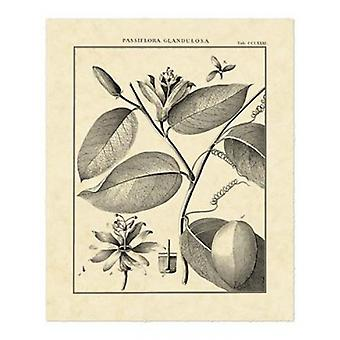 Vintage Botanical Study III Poster Print by Sellier (16 x 20)