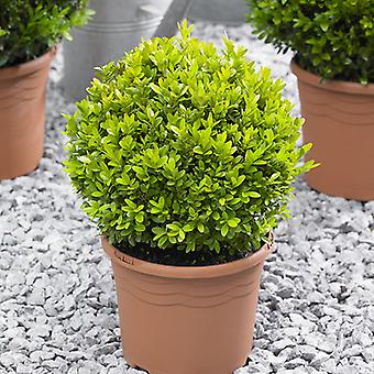 Pair of Topiary Box Buxus Balls 22-25cm Diameter