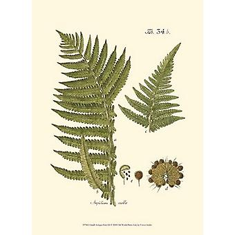 Small Antique Fern III Poster Print by Vision studio (10 x 13)