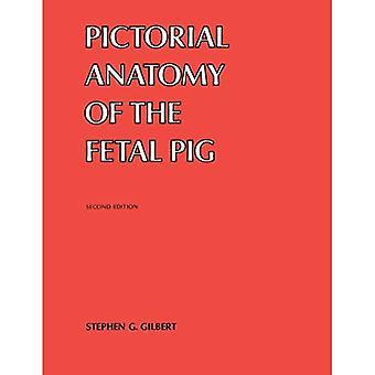 Bildmässigt fetalt gris anatomi