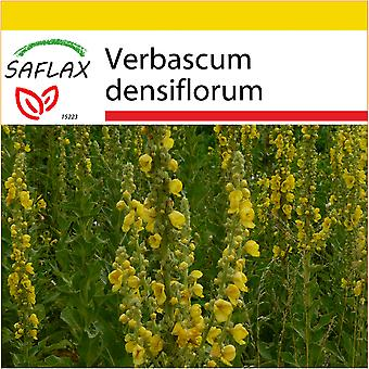 Saflax - Potting Set - 500 seeds - Large Flowered Mullein - Molène à fleurs denses - Verbasco falso barbasso - Gordolobo - Großblumige Königskerze