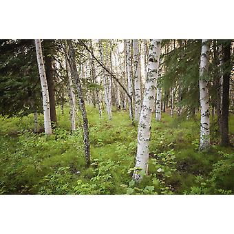 Scenic view of trees and forest understory at Chena Lakes Recreation Area Interior Alaska PosterPrint