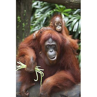 A Mother Orangutan Eats Vegetables With Her Baby At The Singapore Zoo Singapore PosterPrint