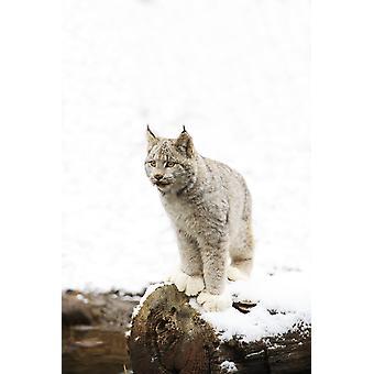 Canadian Lynx On Fallen Log PosterPrint