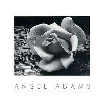 Rose and Driftwood Poster Print by Ansel Adams (20 x 16)