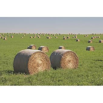Hay Bales In A Green Alfalfa Field PosterPrint