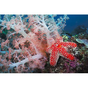 Alconarian coral starfish crinoids and a feather dust worm all compete for space in this Indonesian reef scene off Rinca Island in Komodo National Park Indonesia PosterPrint