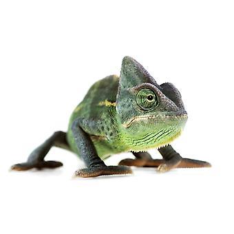 Fl6509 naturliga stunder fotografi Chameleon PosterPrint