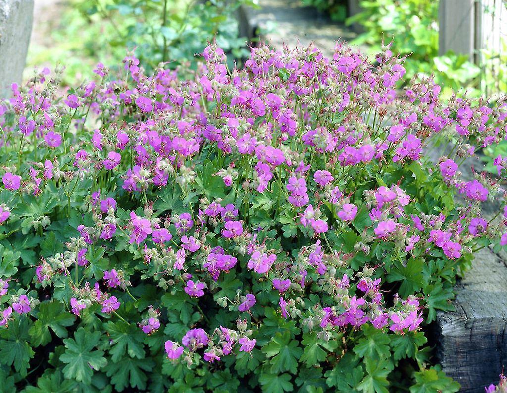 Geranium cantabrigiense Cambridge - Cranesbill, Plant in 9cm Pots