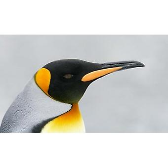South Georgia Island King penguin head Poster Print by Jaynes Gallery