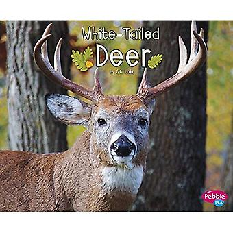White-Tailed Deer (Woodland Wildlife)