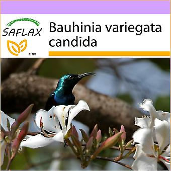 Saflax - 5 seeds - White Orchid Tree - Arbre aux orchidées blanches - Albero di orchidea bianca - Árbol orquídea blanca - Weißer Orchideenbaum