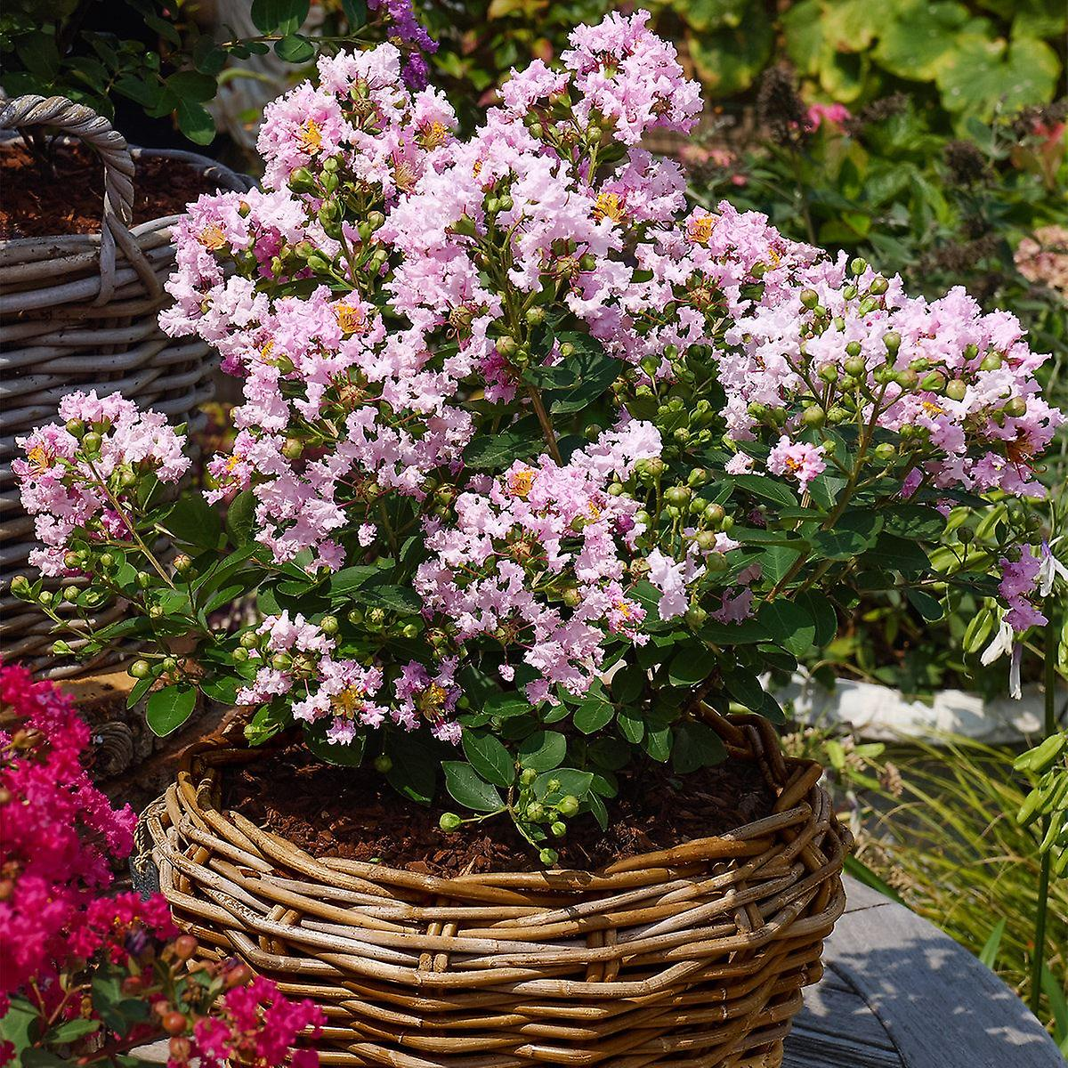 Lagerstroemea indica With Love Babe - Crape Myrtle,  Plant in 9cm Pot