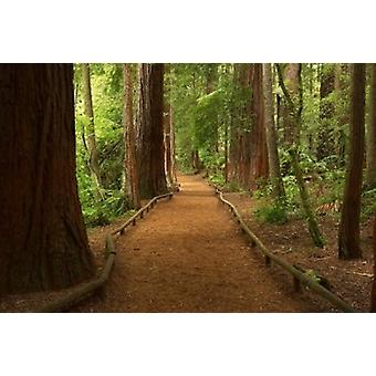 Path through Redwood Forest Rotorua New Zealand Poster Print by David Wall
